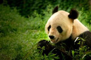 Giant Panda II by jemapellenicoletta