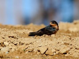Young Swallow by natureguy