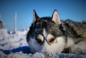 Siberian husky - Argo - Model by Dosty7