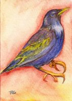 Starling ACEO by pixieled