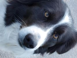 Border Collie by Sombrelys