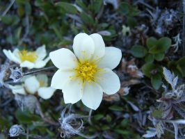 White flower 1 by Arctic-Stock