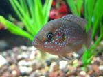 Jewel Cichlid II by transcendelia