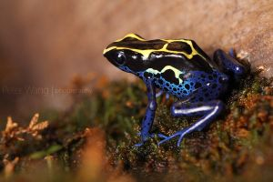 poison dart frog by petertwang