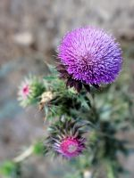 Thistle Bristle by Synthemum