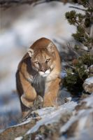 Puma concolor 23 by catman-suha