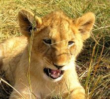 Lion Cub SA II by Jenvanw