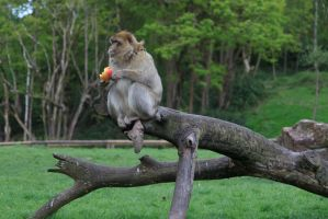 Monkey-6 by Random-Acts-Stock