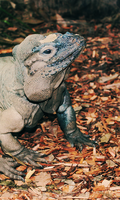 Rhinoceros Iguana II (Colour) by EngravedonmyHeart