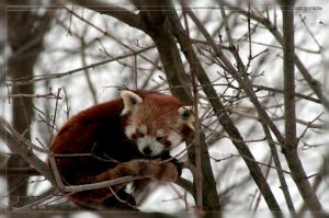 Red Panda: Asleep in a Tree by Flame-of-the-Phoenix