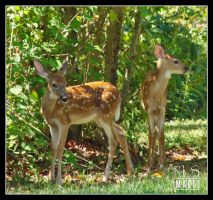 Fawns by Alabamaphoto