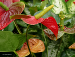 Anthuriums Blooming by Mogrianne
