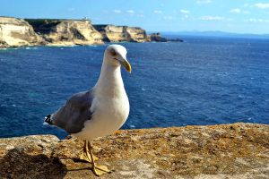 Mouette Corse. by lsandy12