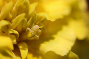 Camo Yellow Crab Spider by Caloxort