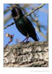 European Starling by borbor