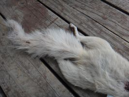 Albino Squirrel Roadkill by aquiafin