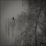 The black crow by LiveInPix