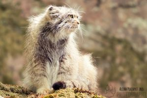 Portrait of a pallas's cat by Ravenith