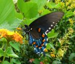 ,.,.,Pipevine Swallowtail,,, by duggiehoo