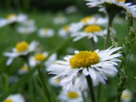 Daisies by Pyritie