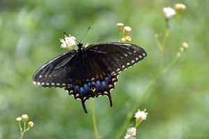 Black Swallowtail Butterfly (Papilio polyxenes) by Kiloueka