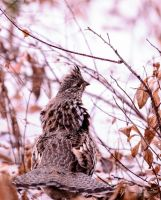 Ruffed Grouse (Bonasa umbellus) by JestePhotography