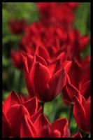 Red Tulips by Oaken-shield