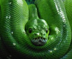 Green Tree Snake by Felikx