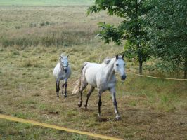 Stock 522: white horse galloping by AlzirrSwanheartStock
