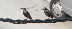 Sturnus vulgaris by kailor