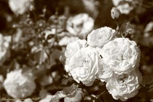 Roses are White by mademoisellesauvage