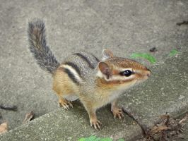 courageous chipmunk by Lou-in-Canada