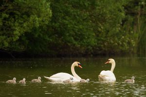 swan family by mescamesh