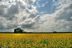 Canola Field HDR by DanielleMiner