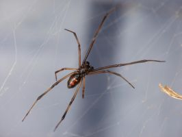 Male Red Back Spider by Mutilator-Of-Cookies