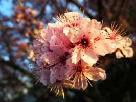 plum tree in the morning by campbell16