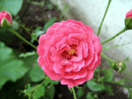 rose_pink by puszika