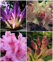 Rhododendron III. by mytruelies