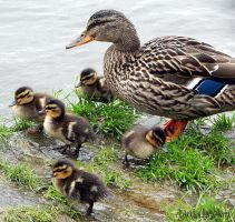 - Small ducks with their mother - by tanny-tb