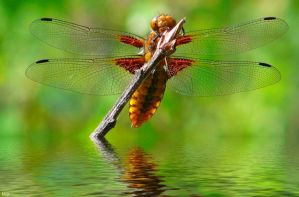 Dragonfly by miirex