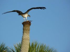 Osprey With Fish Dinner by Aswang301