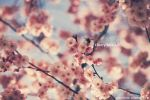 Early April Cherry Blossoms by Maegondo