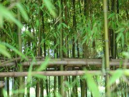Bamboo Forest by bigwoody