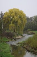 Weeping Willow by mitsubishiman