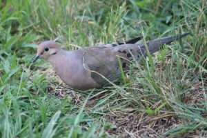 mourning dove by Laur720