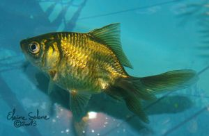 Stay Gold - the GOLD Goldfish - 23 by ElaineSeleneStock