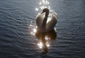 Shimmering Swan by kocy