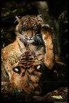 Baby Tigers: Paw in face by TVD-Photography