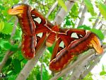 Atlas Moth by ytvrci