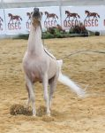 STOCK - Arabian Gala Event 081 by fillyrox